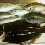 下津ピアーランドで釣れたヒラメやカマス