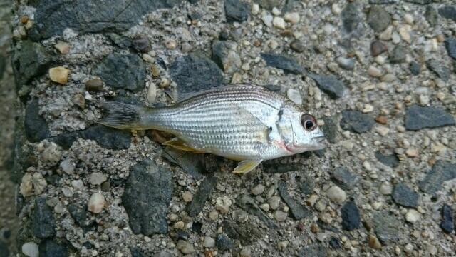 テナガエビ仕掛けで釣れたキビレの赤ちゃん