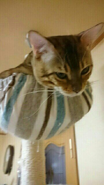 猫タワー最上部に逃げ込む愛猫リン