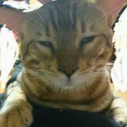 私のお腹の上で寝惚ける愛猫リン