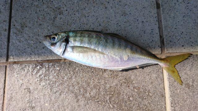 ライトカゴ釣りで良型アジ